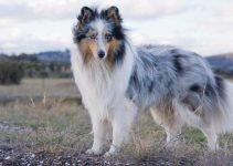 Best Dog Crates For Shetland Sheepdogs