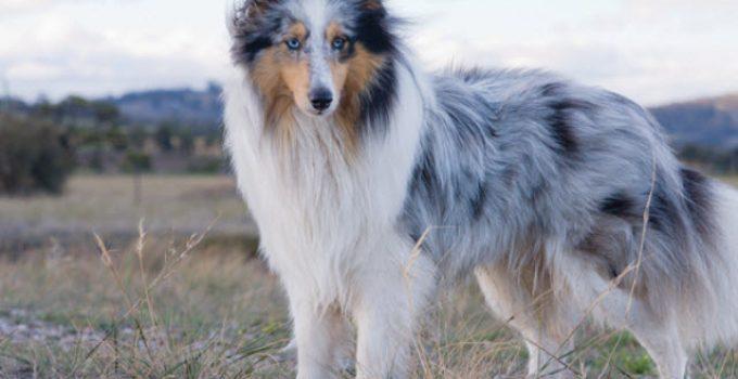 Best Dog Crates For Shetland Sheepdogs