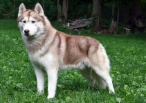 5 Best Dog Crates for Siberian Huskies (Reviews Updated 2021)
