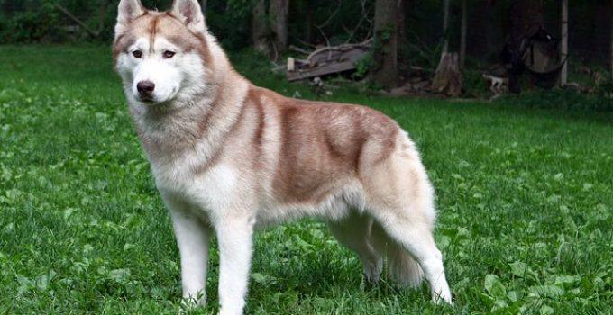 Best Dog Crates For Siberian Huskies