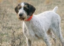 Best Dog Foods For German Wirehaired Pointers