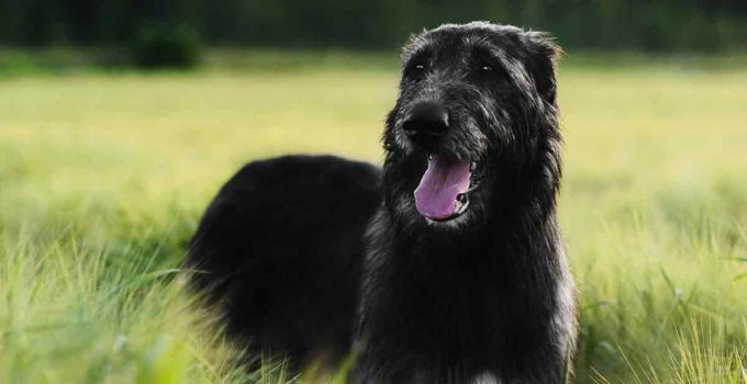 Best Dog Foods For Irish Wolfhounds