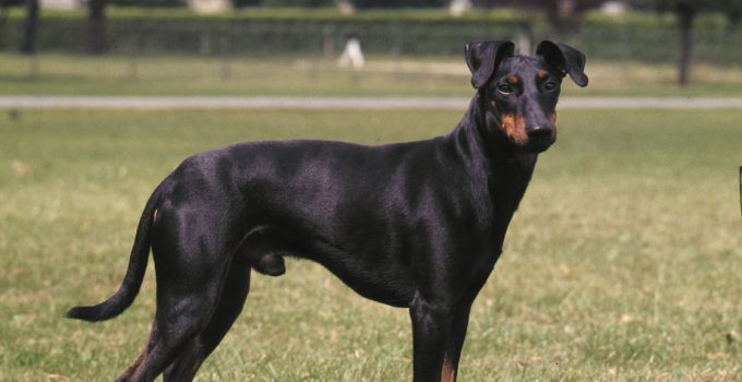 Best Dog Foods For Manchester Terriers