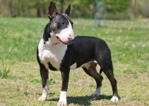 Best Dog Foods For Miniature Bull Terriers