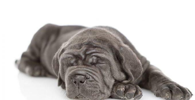 Best Dog Foods For Neapolitan Mastiffs