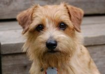 Best Dog Foods For Norfolk Terriers