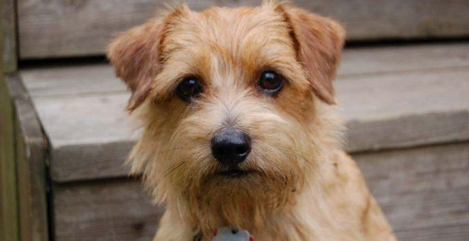 Best Dog Foods For Norfolk Terriers
