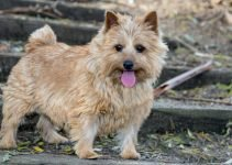 5 Best Dog Foods for Norwich Terriers (Reviews Updated 2021)