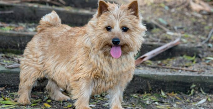 Best Dog Foods For Norwich Terriers