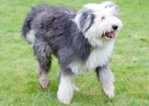 Best Dog Foods For Old English Sheepdogs