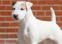 5 Best Dog Foods for Parson Russell Terriers (Reviews Updated 2021)