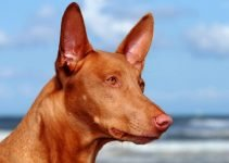 Best Dog Foods For Pharaoh Hounds