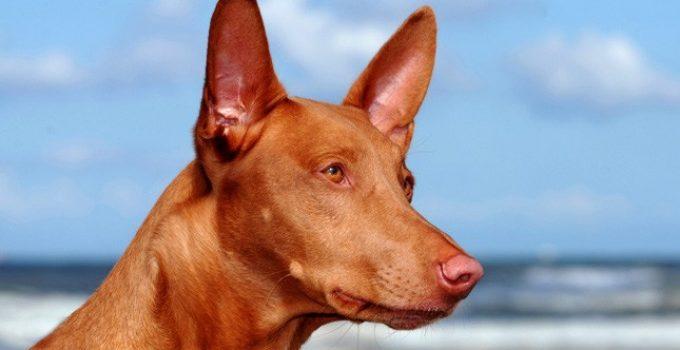 Best Dog Foods For Pharaoh Hounds