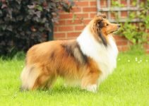 Best Dog Foods For Shetland Sheepdogs
