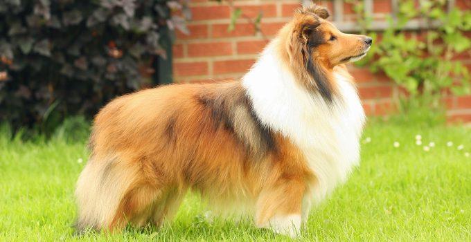 Best Dog Foods For Shetland Sheepdogs