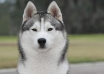 Best Dog Foods For Siberian Huskies