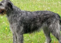 5 Best Dog Harnesses for Irish Wolfhounds (Reviews Updated 2021)