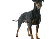 Best Dog Harnesses For Manchester Terriers