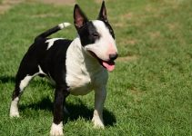Best Dog Harnesses For Miniature Bull Terriers