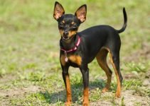 5 Best Dog Harnesses for Miniature Pinschers (Reviews Updated 2021)
