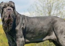 Best Dog Harnesses For Neapolitan Mastiffs