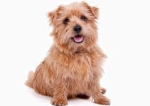Best Dog Harnesses For Norfolk Terriers