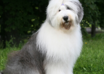 5 Best Dog Harnesses for Old English Sheepdogs (Reviews Updated 2021)