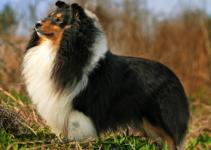 Best Dog Harnesses For Shetland Sheepdogs
