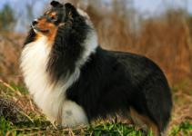 Best Dog Harnesses For Shetland Sheepdogs