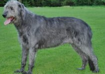 5 Best Dog Muzzles for Irish Wolfhounds (Reviews Updated 2021)