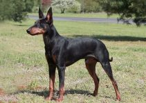 5 Best Dog Muzzles for Manchester Terriers (Reviews Updated 2021)