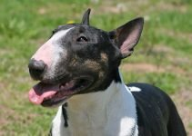 5 Best Dog Muzzles for Miniature Bull Terriers (Reviews Updated 2021)