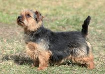 Best Dog Muzzles For Norfolk Terriers