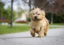 Best Dog Muzzles For Norwich Terriers