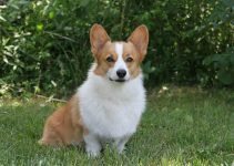 Best Dog Muzzles For Pembroke Welsh Corgis
