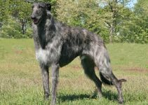 5 Best Dog Muzzles for Scottish Deerhounds (Reviews Updated 2021)