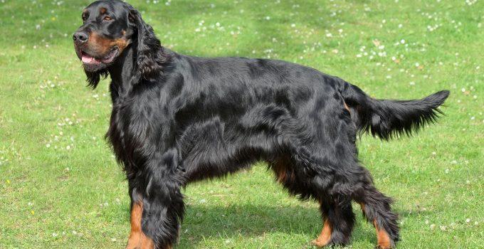 Best Dog Shampoos For Gordon Setters