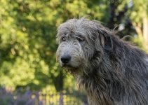5 Best Dog Shampoos for Irish Wolfhounds (Reviews Updated 2021)