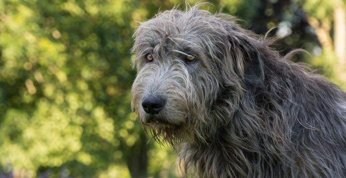 Best Dog Shampoos For Irish Wolfhounds