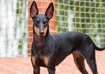 Best Dog Shampoos For Manchester Terriers