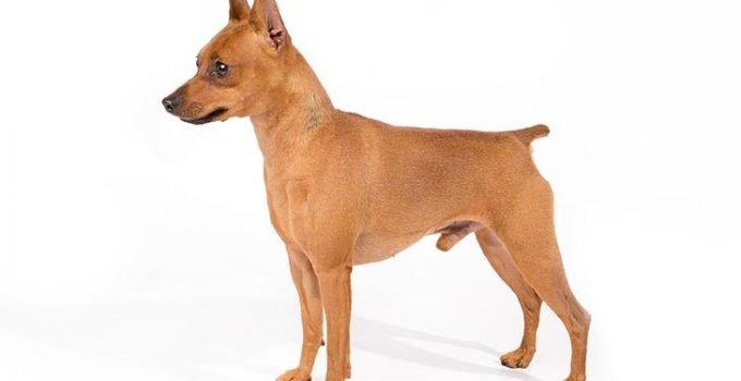 Best Dog Shampoos For Miniature Pinschers