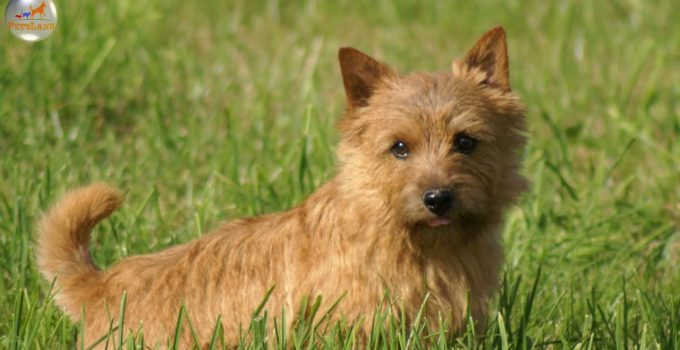 Best Dog Shampoos For Norwich Terriers