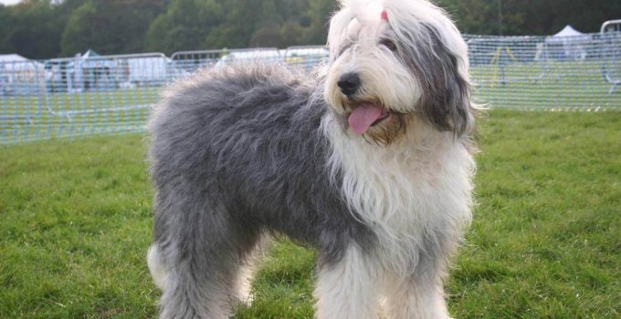Best Dog Shampoos For Old English Sheepdogs