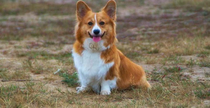 Best Dog Shampoos For Pembroke Welsh Corgis