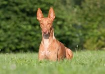 Best Dog Shampoos For Pharaoh Hounds