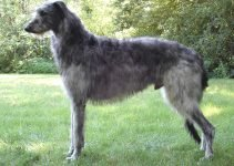 Best Dog Shampoos For Scottish Deerhounds