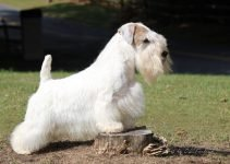 5 Best Dog Shampoos for Sealyham Terriers (Reviews Updated 2021)
