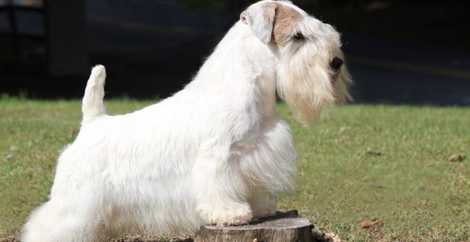Best Dog Shampoos For Sealyham Terriers
