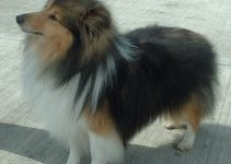 5 Best Dog Shampoos for Shetland Sheepdogs (Reviews Updated 2021)