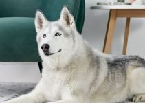 Best Dog Shampoos For Siberian Huskies